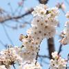 【2020】近所の公園の桜が見頃になってきたので写真撮ってきた