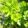 畑で採れたセロリでラザニア作ります!