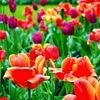 そろそろチューリップが満開?オランダのキューケンホフ公園【アムステルダム観光おすすめ】【開花時期】
