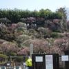 桜と梅を1日で!