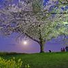 さくらの山、満開の夜桜。