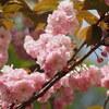 E-M1 新宿御苑で満開の八重桜を楽しむ