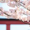 【鎌倉】マクロレンズで鶴岡八幡宮段葛の満開の桜を撮ってきた