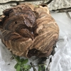 袋井市でお庭の木の中にできたスズメバチを退治してきました!