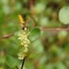 ワイヤープランツの花にヒラタアブ