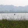 印旛沼のヨシ原で擬態するヨシゴイ