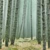 樹液ビジネス