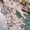 今年も桜見た!2020
