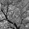 今日の2枚目 満開の桜は気持ち良いね