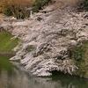 桜満開の千鳥ヶ淵