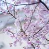 平成なごり雪:桜に雪帽子