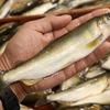 肴の川魚料理 『今年最後の鮎漁』