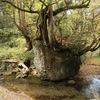 巨木が根を張る高さ約6mの奇岩 五城目町「ネコバリ岩」