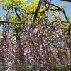 岡崎公園の藤