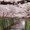 目黒川の桜を楽しむ!