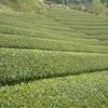 薄い黄緑色に…雨上がりの茶畑