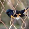 ベリーズ 散歩で見かけた American Redstart (アメリカン レッドスタート)