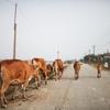 インド全土で牛肉規制!?