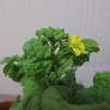 菜の花の初収穫 ~ 菜の花は何の花? 白菜、キャベツの花も菜の花!? ~