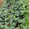 梅雨入り前の農作業