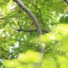ノゴマ・ムギマキ・コマドリ・水鳥多種(大阪城野鳥探鳥 2018/10/20 5:40-12:20)