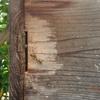 巣枠式巣箱のミツバチ達 ヨモギの葉で蜂を追う Bees of the frame-type nest box