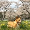 虎次郎12歳。満開の桜と記念写真。