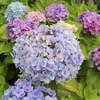 梅雨時期も朝ウォーキングで季節の花々に癒されながら健康促進