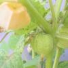 食用ほおずきは育て方が楽で美味だが食べ頃の見極めが難しい!品種はゴールデンベリー