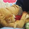 嫁さんに腕枕をしてもらって寝るココちゃん♪(355日目)