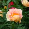 バラの無農薬栽培の世界と、メリット、デメリットを考える