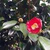 椿,水仙が咲きました.ハッサクはもうすぐ収穫した方が良いかもしれません/ミカンの起源