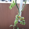 うちのトマトが刈り上げられてました~(゚∀゚)!