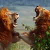 獅子同士の喧嘩