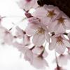 桜が見頃になった鎌倉の建長寺に行ってきました