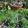 ポタジェの収穫と庭の雑草取り