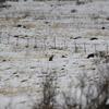 雪原のキツネ