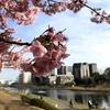 「河津桜」とは?どこが発祥?いつ咲く?都内のどこで見れる?