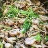 黒ごま豚、大葉と水菜の香味焼き