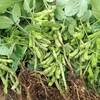 とれたて新鮮な枝豆を食べる。次は長岡大花火大会にあわせて収穫する予定