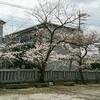 せっかちな桜…