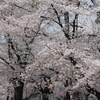 大宮公園の桜が満開です(*'▽')