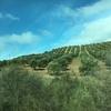 早春のスペイン♪ その6  淡いモスグリーン オリーブの海