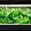 【グリーンファーム】レタスの初収穫は焼肉のお供に【水耕栽培】