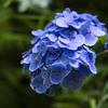 紫陽花の点検