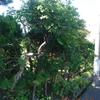庭仕事 母の思い出の樹(1)