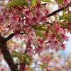早咲きの桜を見に行こう!児島湖花回廊の河津桜2019
