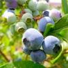 【ブルーベリー】収穫量を増やすための品種の選び方は?〜異なる品種を複数植えたほうが良いのはなぜ?〜