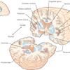 脳の帯状束への電気刺激による「笑い」の誘発