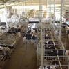 乳牛はなぜ夏バテするのか?:第一胃と発酵熱の関係